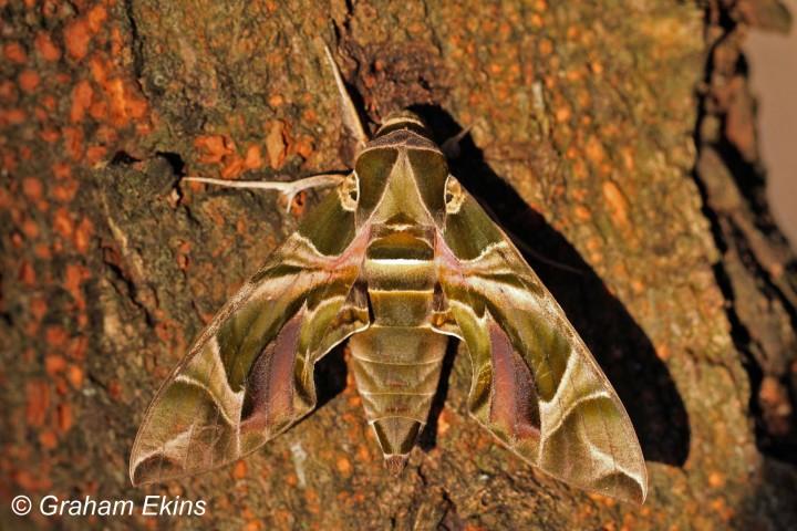 Oleander Hawk-moth   Daphnis nerii Copyright: Graham Ekins