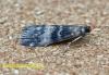 Euzophera pinguis 4 Copyright: Graham Ekins