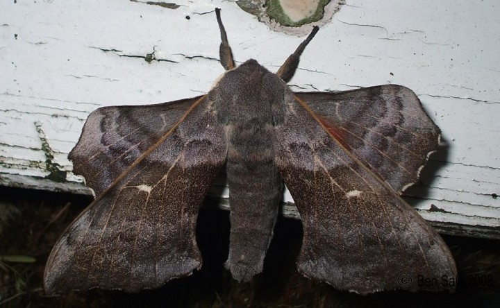 Poplar Hawk-moth 3 Copyright: Ben Sale