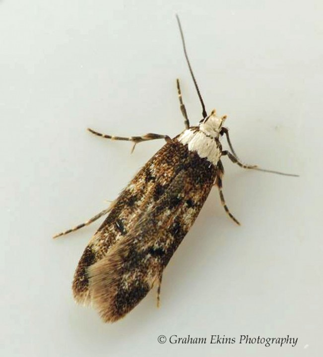 Endrosis sarcitrella   White-shouldered House Moth 2 Copyright: Graham Ekins