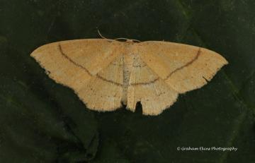 Cyclophora linearia Copyright: Graham Ekins