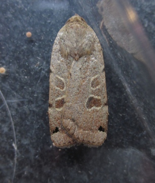 Lunar Yellow Underwing Copyright: Clive Atkins