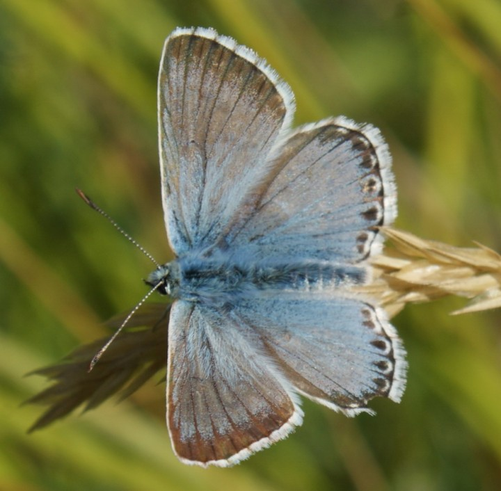 Chalkhill Blue Copyright: Robert Smith