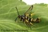Synanthedon vespiformis Yellow-legged Clearwing Copyright: Graham Ekins
