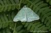 Pseudoterpna pruinata Copyright: Graham Ekins