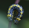 caterpillar on Wild Cherry Copyright: Robert Smith