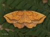 Bordered Beauty  Epione repandaria Copyright: Graham Ekins