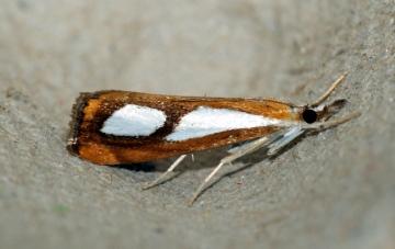 Catoptria pinella 3 Copyright: Ben Sale