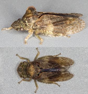 Ledra aurita (Eared Leafhopper) Copyright: Bill Crooks