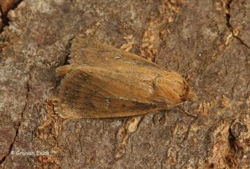 Lenisa geminipuncta   Twin-spotted Wainscot Copyright: Graham Ekins