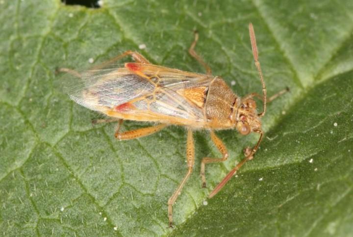 Liorhyssus hyalinus 2 Copyright: Peter Harvey