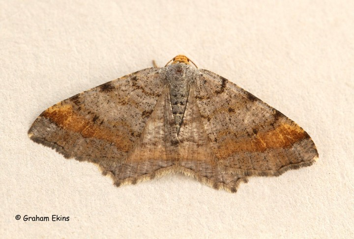 Tawny-barred Angle  Macaria liturata Copyright: Graham Ekins