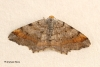 Tawny-barred Angle  Macaria liturata Copyright: Graham Ekins