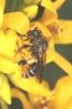 Macropis europaea Copyright: Peter Harvey