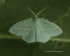 Hemistola chrysoprasaria   Small Emerald Copyright: Graham Ekins