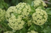 Alexanders flower closeup Copyright: Peter Harvey
