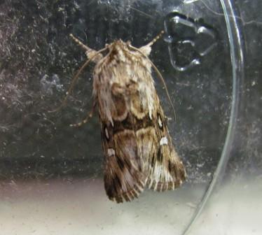 Calophasia lunula (Toadflax Brocade) Copyright: Graham Smith