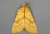 Orange Sallow 08-09-2020 Top Copyright: Bill Crooks