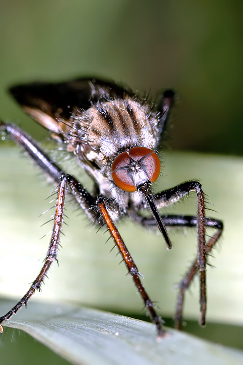 Empis tessellata (16 May 11) Copyright: Leslie Butler