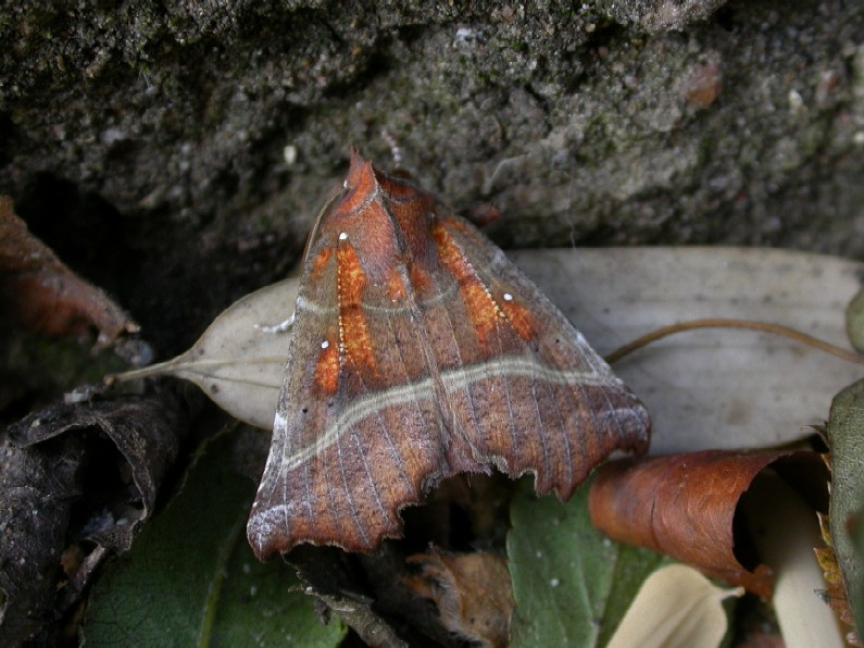 The Herald (Moth) Copyright: Malcolm Riddler