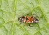 Raglius alboacuminatus Copyright: Peter Harvey