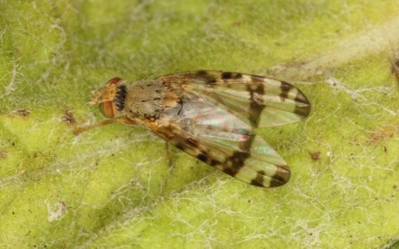 Sphenella marginata Copyright: Peter Harvey