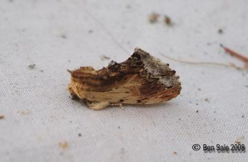 Maple Prominent Copyright: Ben Sale