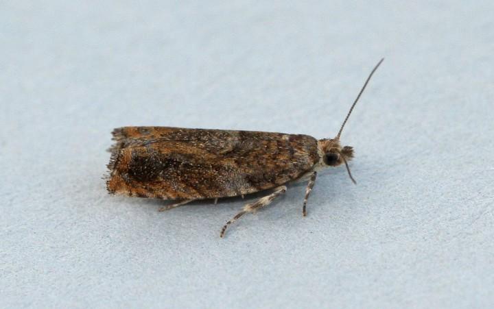 Epinotia abbreviana 2 Copyright: Graham Ekins
