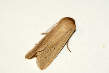 Common Wainscot 2 Copyright: Ben Sale