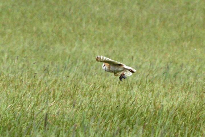 Barn Owl 3 Copyright: Graham Smith