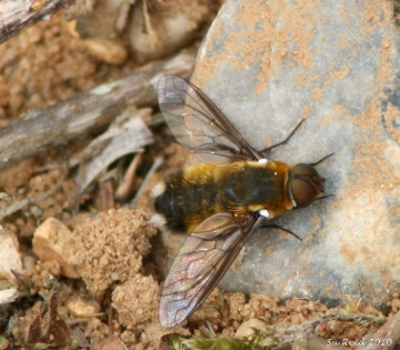 Bee fly  Villa modesta Copyright: Su Reed