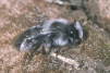 Andrena cineraria Copyright: Peter Harvey