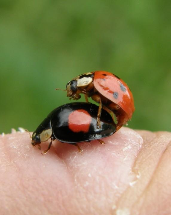 Harlequin ladybirds mating Copyright: Sue Grayston