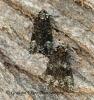 Craniophora ligustri Coronet 5 Copyright: Graham Ekins