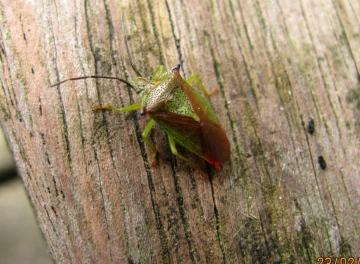 Hawthorn Shieldbug 2 Copyright: Graham Smith