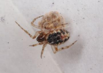 Theridion blackwalli