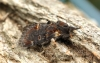 Notodonta dromedarius   Iron Prominent Copyright: Graham Ekins