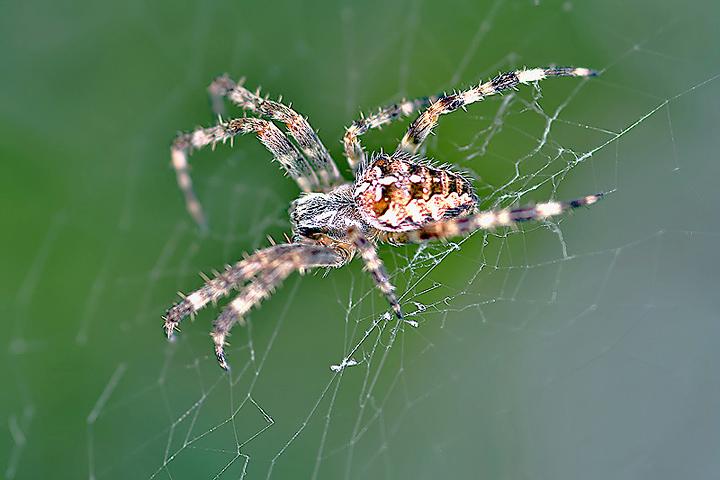 Araneus diadematus (21 Aug 10) Copyright: Leslie Butler