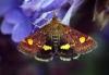 Pyrausta aurata 2 Copyright: Ben Sale
