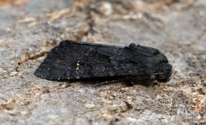 Black Rustic   Aporophyla nigra Copyright: Graham Ekins