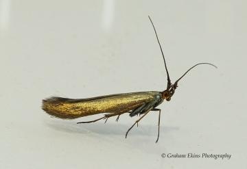Coleophora amethystinella 5 GD Copyright: Graham Ekins