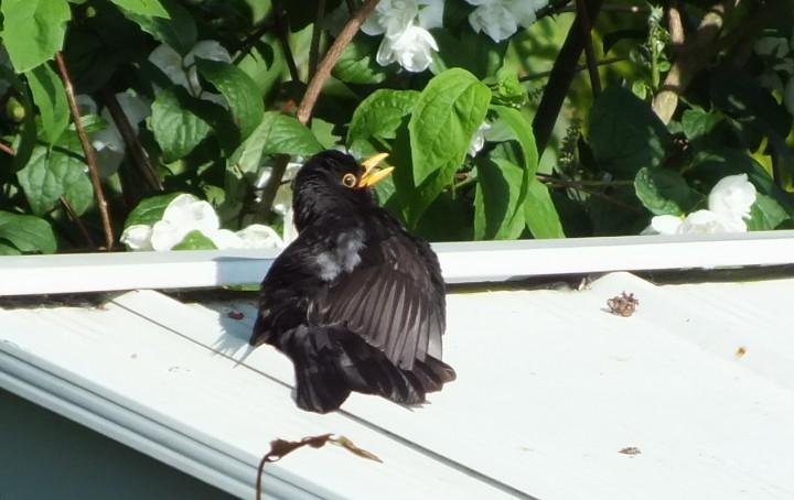 Blackbird Copyright: Peter Pearson