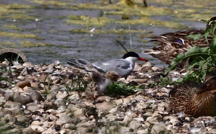Common Tern Copyright: Graham Smith