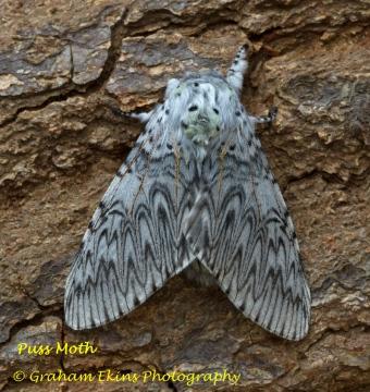 Puss Moth  Cerura vinula Copyright: Graham Ekins