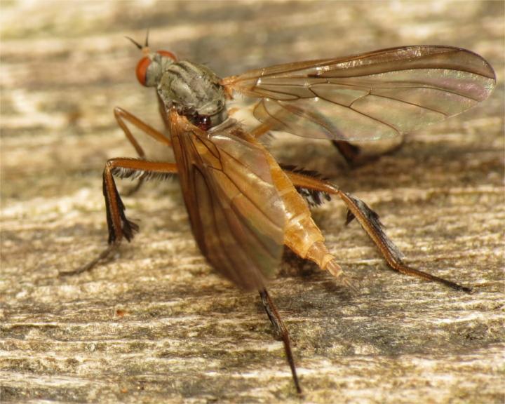 Rhamphomyia barbata female 20150605-1583 Copyright: Phil Collins