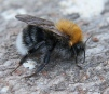 Bombus hypnorum Copyright: Graham Ekins