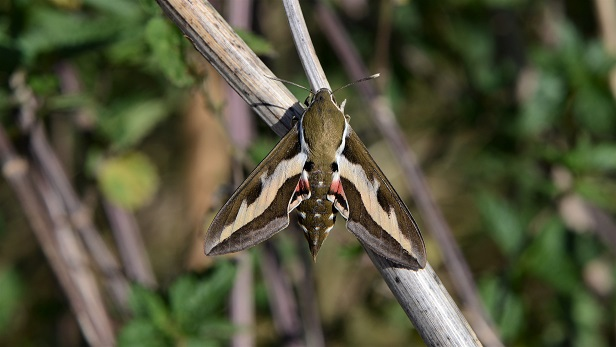 Bedstraw Hawk-moth Copyright: Samuel Chamberlin