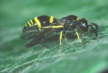 Symmorphus gracilis