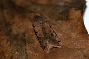 Brown-spot Pinion 3 Copyright: Ben Sale