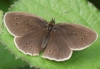 Ringlet (upperside) Copyright: Robert Smith